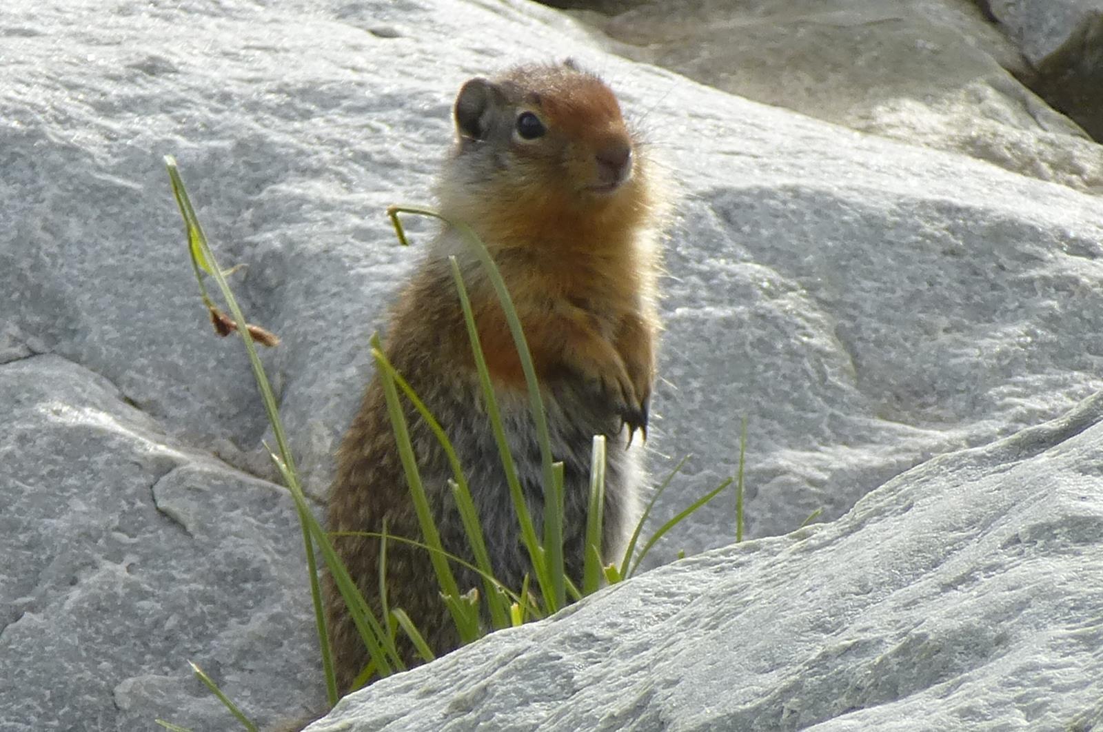 Columbian Ground Squirrel (2)